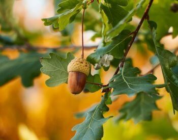 A picture of an acorn (seed) on an oak tree