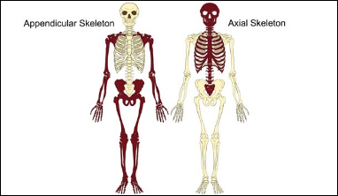 A diagram of the axial and appendicular skeleton
