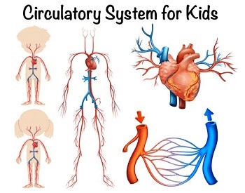 A diagram made exclusively for kids that shows different parts of the human circulatory system