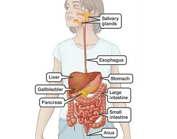 A diagram that shows you all of the different parts of the digestive system