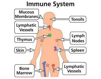 A diagram that shows you all of the different parts of the human immune system