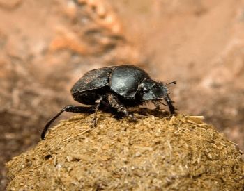 A picture of a dung beetle on top of dung