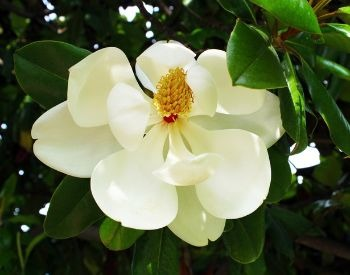 A picture of a white flower on a magnolia tree