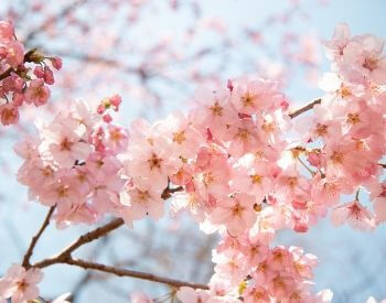 A picture of the flowers of a cherry blossom tree