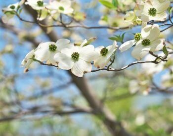 A picture of the flowers of a dogwood tree
