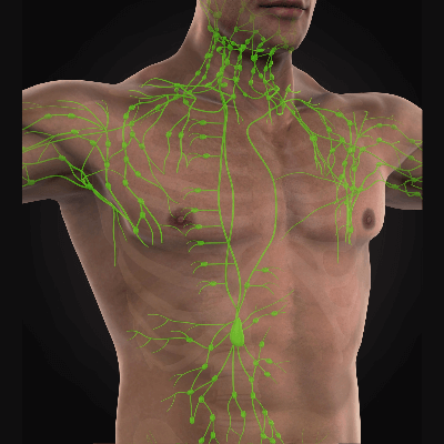 A Picture of the Lymphatic System