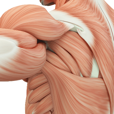A Picture of the Human Muscular System