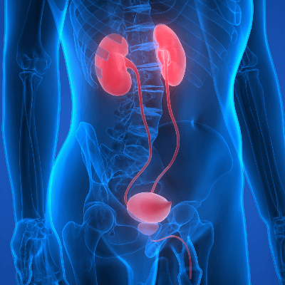 A Picture of the Urinary System