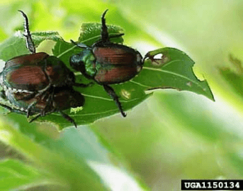 A picture of two japanese beetles on a leaf