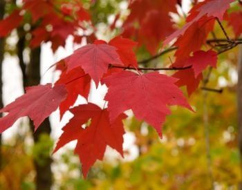 A picture of leaves on a red maple tree in the summer