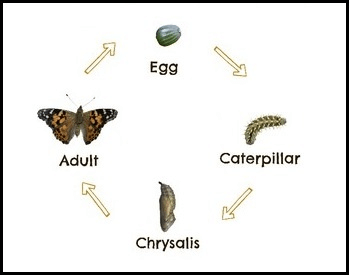 A diagram of the life cycle of a painted lady butterfly