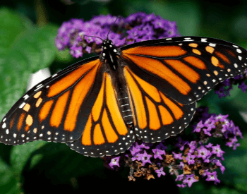A picture of the monarch butterfly on a flower