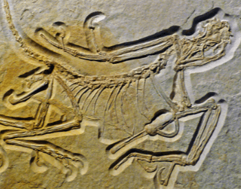 A photo of the oldest discovered Archaeopteryx specimens.