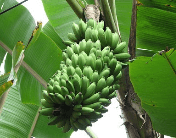 A picture of the Palayam Kodan banana plant