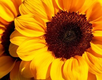 A picture of the petals of a sunflower