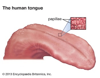 A diagram showing the taste buds on the human tongue