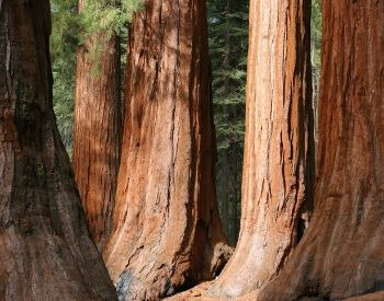 A picture of the trunks of a few giant sequoia trees