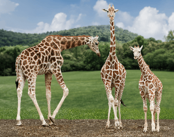 A photo of a group of three giraffes