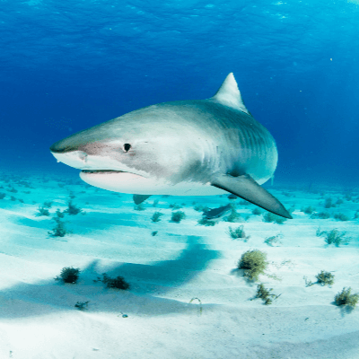 A Picture of a Tiger shark (Galeocerdo cuvier)