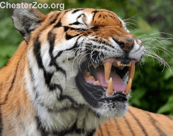 A Tiger Showing its Teeth