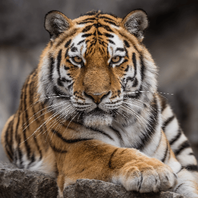 A Picture of Tiger - Panthera tigris