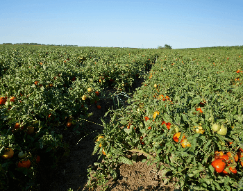 A picture of a tomato field on a farm