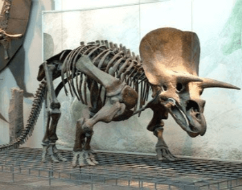 Triceratops Skeleton Exhibit At The Frankfurt Museum In Germany