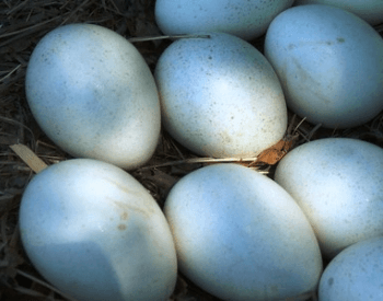 A picture of turkey eggs