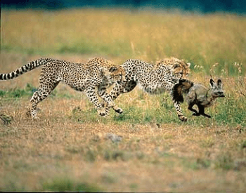 A picture of two cheetahs chasing a fox