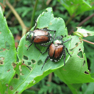 A Picture of Two Japanese Beetles