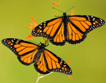 A picture of two monarch butterflies on a plant