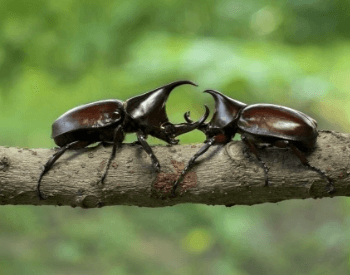A picture of two rhinoceros beetles fighting