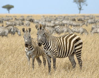 A picture of two zebras from a herd