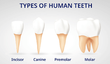A diagram of the four different types of human teeth