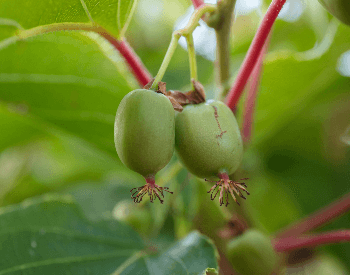 A picture of unripe kiwi on a tree