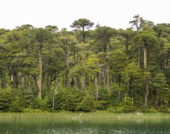A picture of the Valdivian Temperate Rain Forest in South America