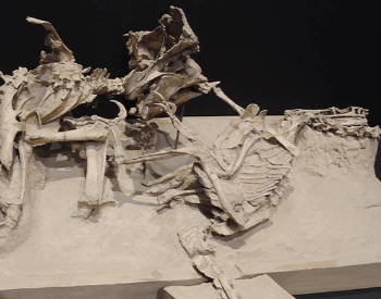 Velociraptor Fighting A Protoceratops