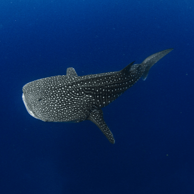 A Picture of a Whale shark (Rhincodon typus)