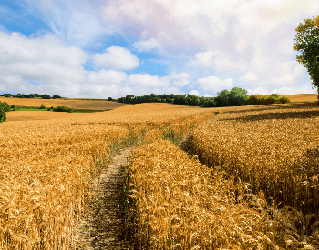 A picture of a wheat field on a farm