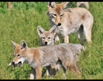 A picture of young coyote pups and their mother