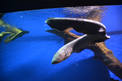 Electric Eel Facts for kids